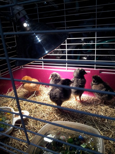 Chicks in the cage in my garage.